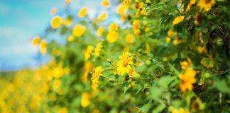 mùa hoa dã quỳ